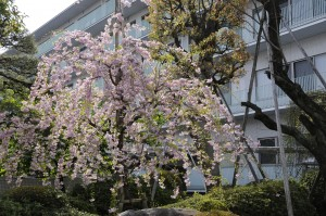 第1病棟としだれ桜